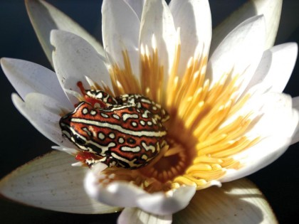 Painted Reed Frog on a Day Water Lily Flower