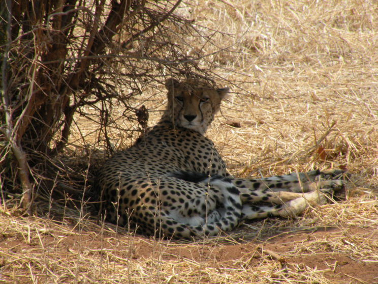 ghepardo-stanco