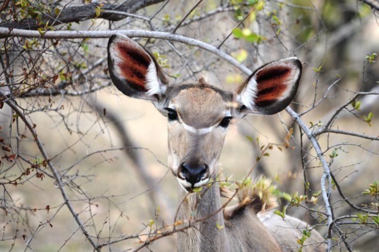 il-kudu