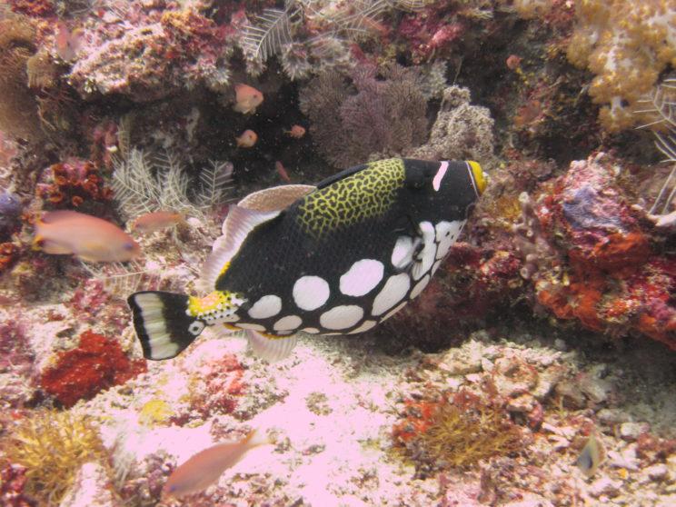 il-pesce-clown