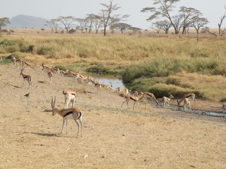 le-gazzelle-bevono