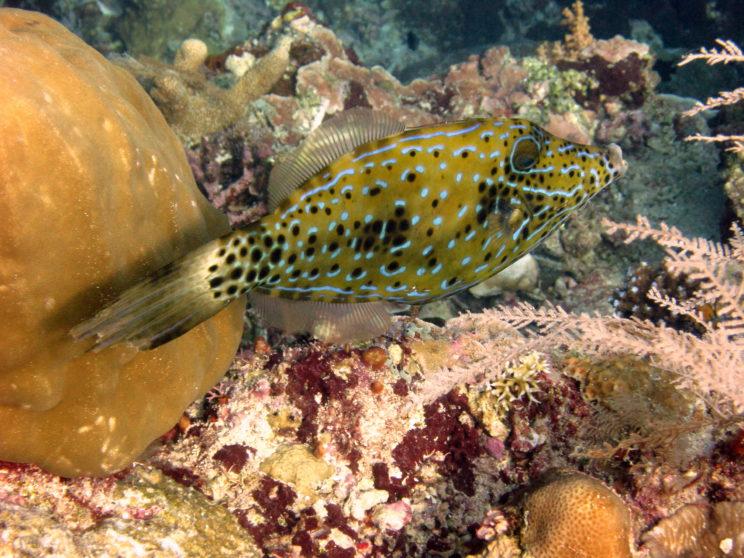 pesce-lima-orlato