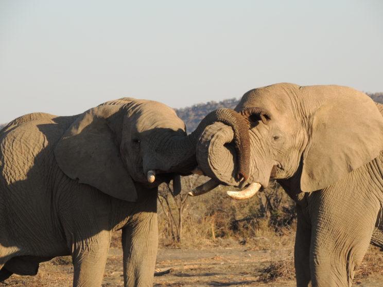 elefanti Madikwe