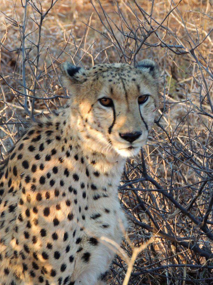 ghepardo 2