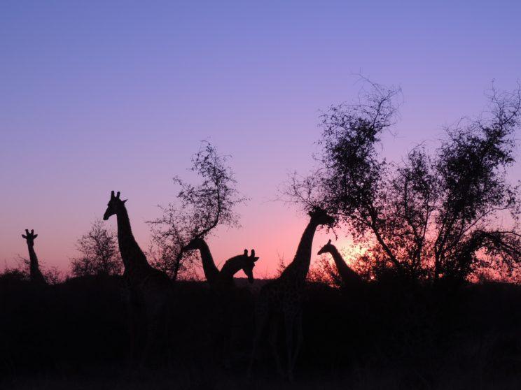 giraffe Madikwe