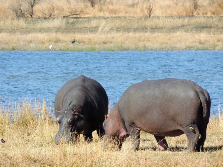 ippopotami Pilanesberg N.P.