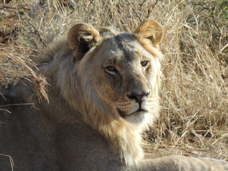 leone Pilanesberg N.P.