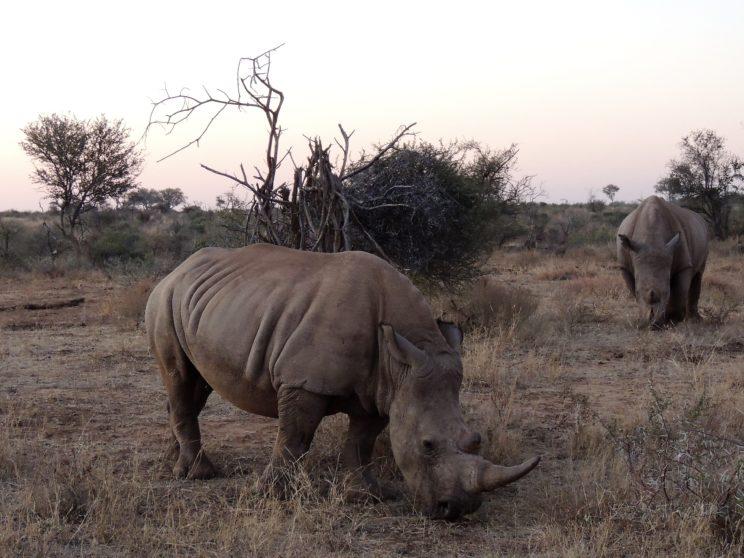 rinoceronti Madikwe